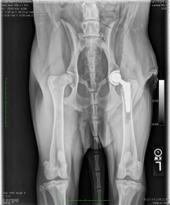 Frankie's post operative radiographs. Left total hip replacement.